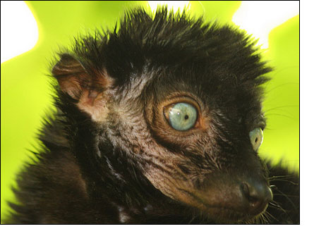 Blue-Eyed Black Lemur, Close Up