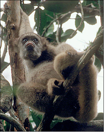 Brazilian Muriqui Monkey in Tree