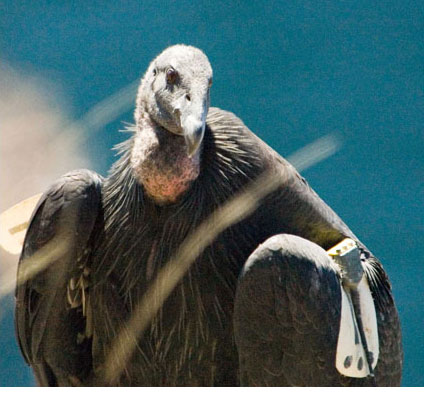 California condor cr dancing star foundation endangered species