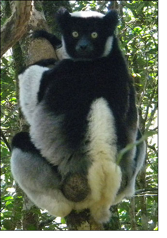 Indri, giant monkey of Madagascar