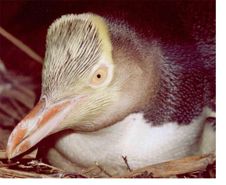 Yellow-Eyed Penguin on the Nest